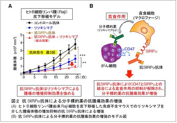 貪食細胞を活性化する新たながん治療法を発見 | Research at Kobe